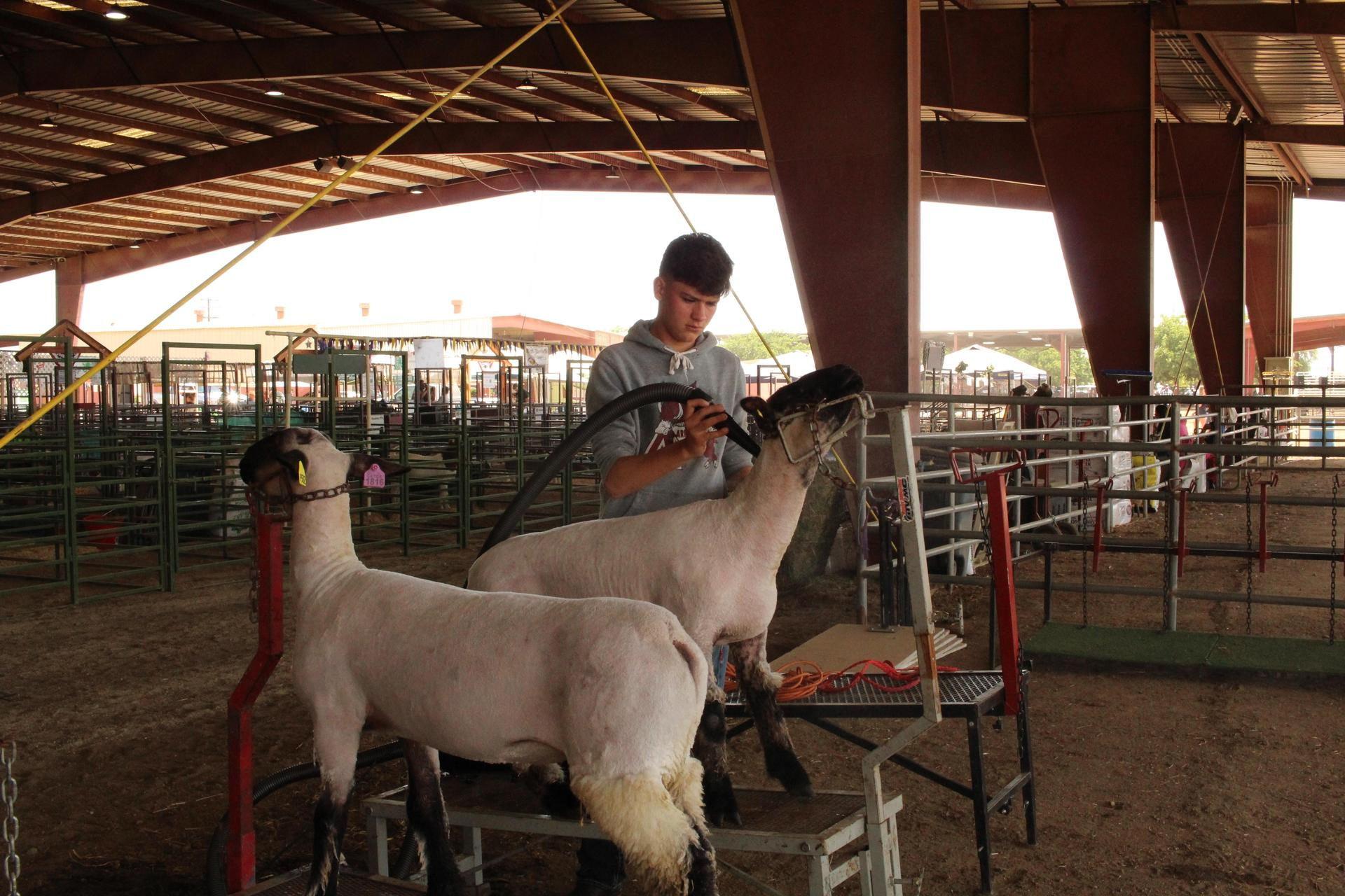F F A students preparing their livestock for judging.