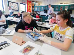 Sixth-grade students work together to dissect frogs in an elective science STEM class.