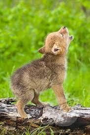 Baby Coyote