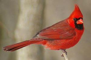 northern-cardinal-male-58a6dae73df78c345b5f3610.jpg