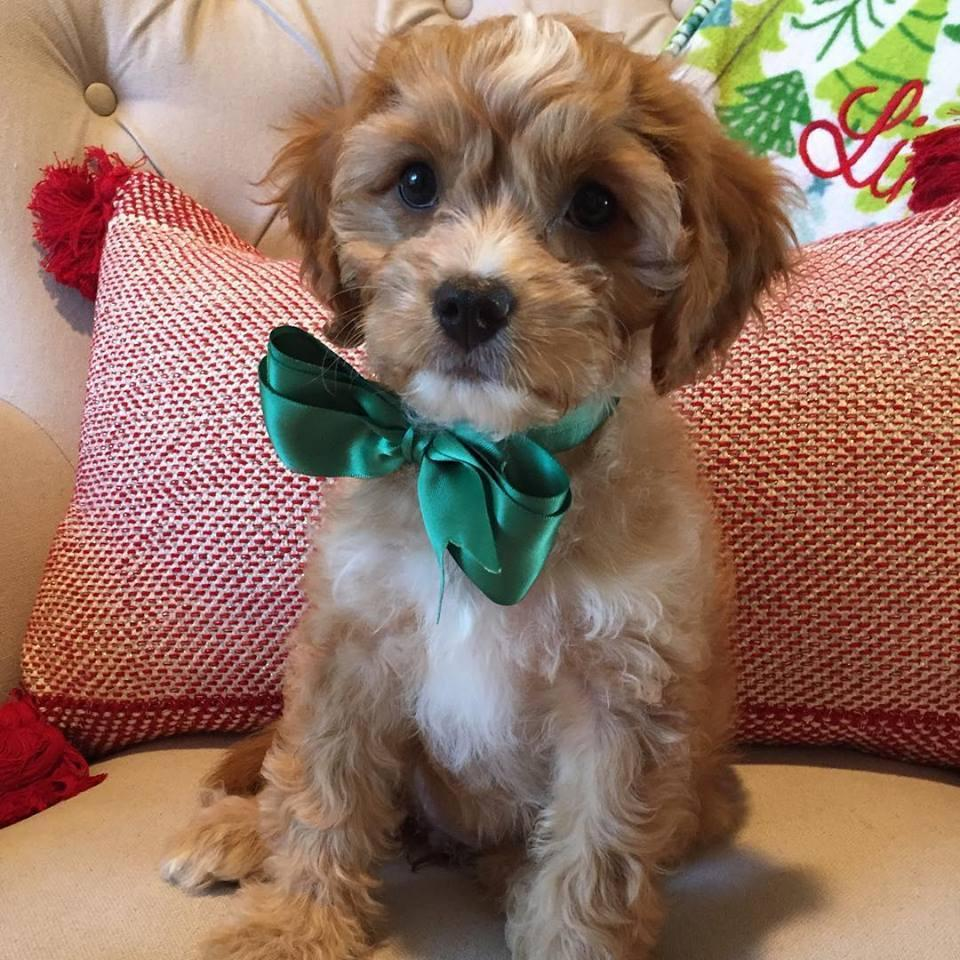 Gracie the Cavapoo puppy