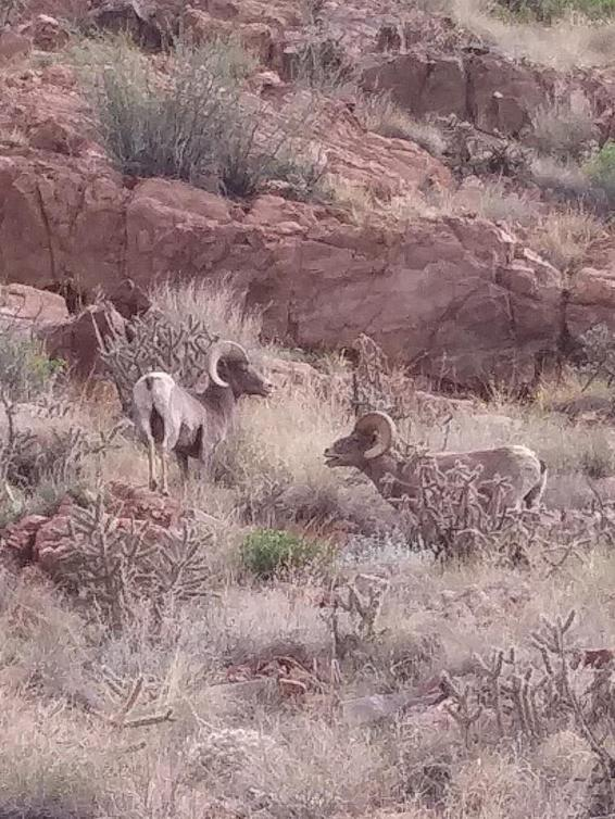 Two big horn sheep on cliff.