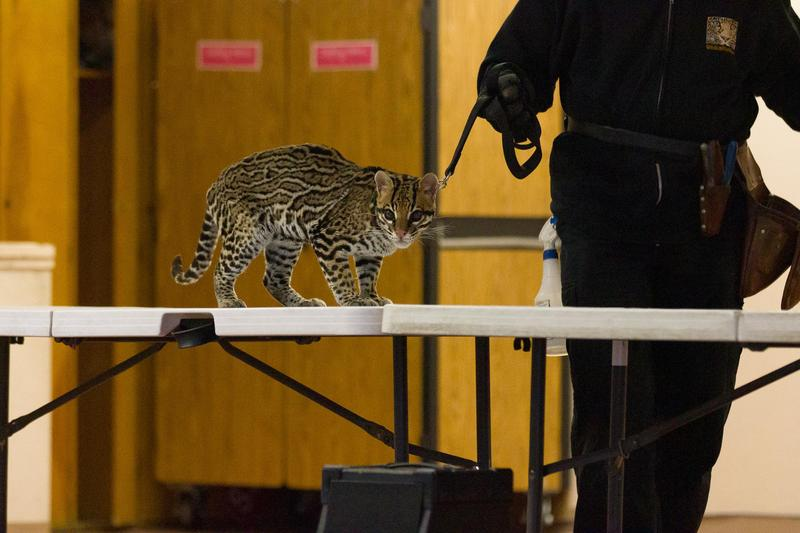 An ocelot visits students at Lairon.