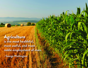 Agriculture - picture of corn plants