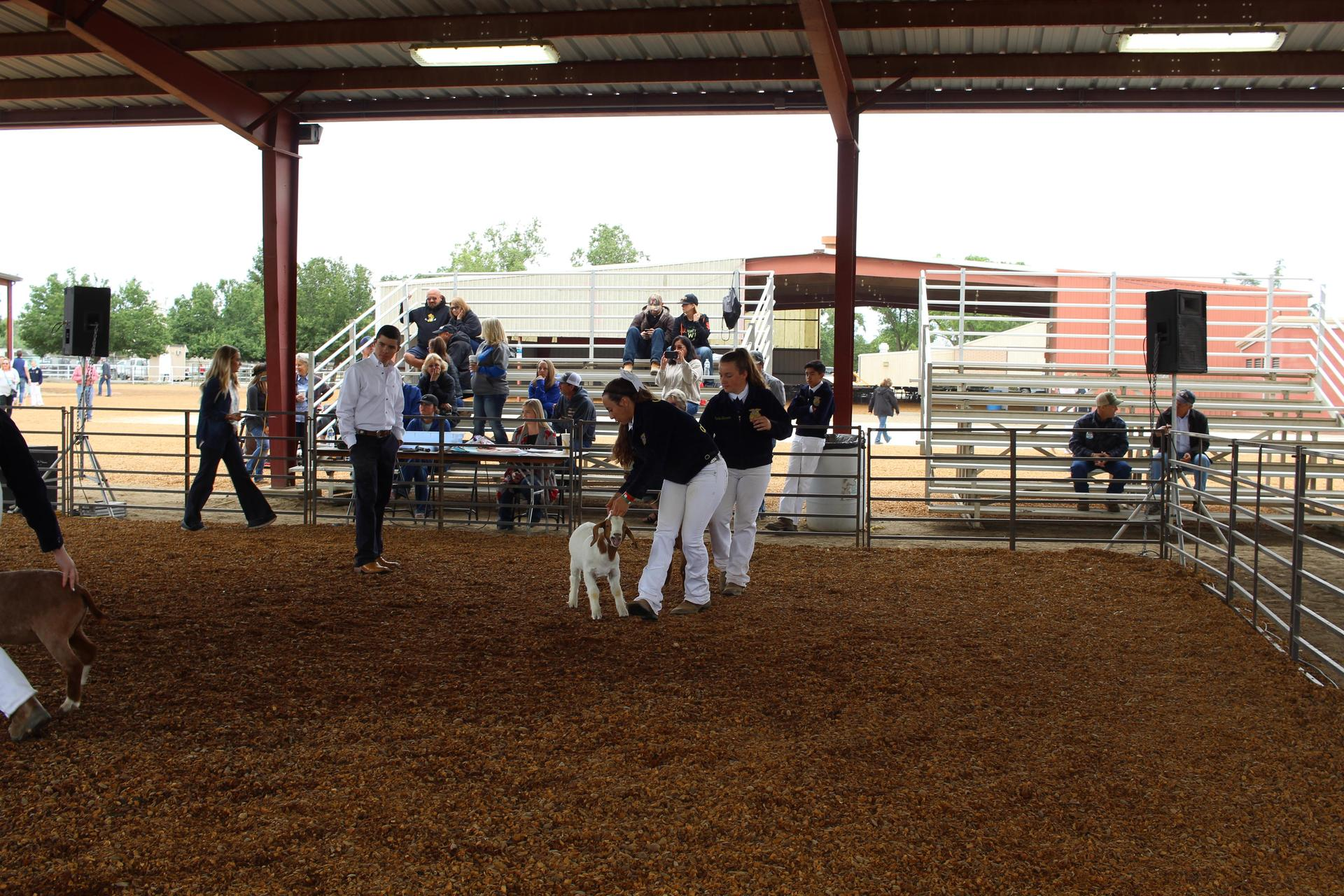F F A students showing their livestock for judging.