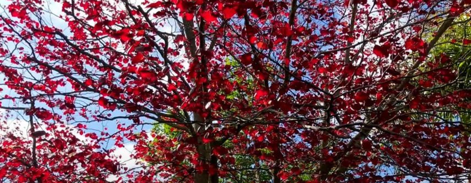 Red heart leaf tree