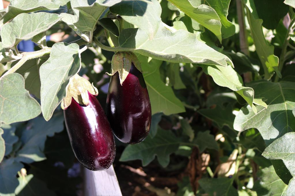 Photo of eggplant growing in Jefferson School garden/outdoor classroom.