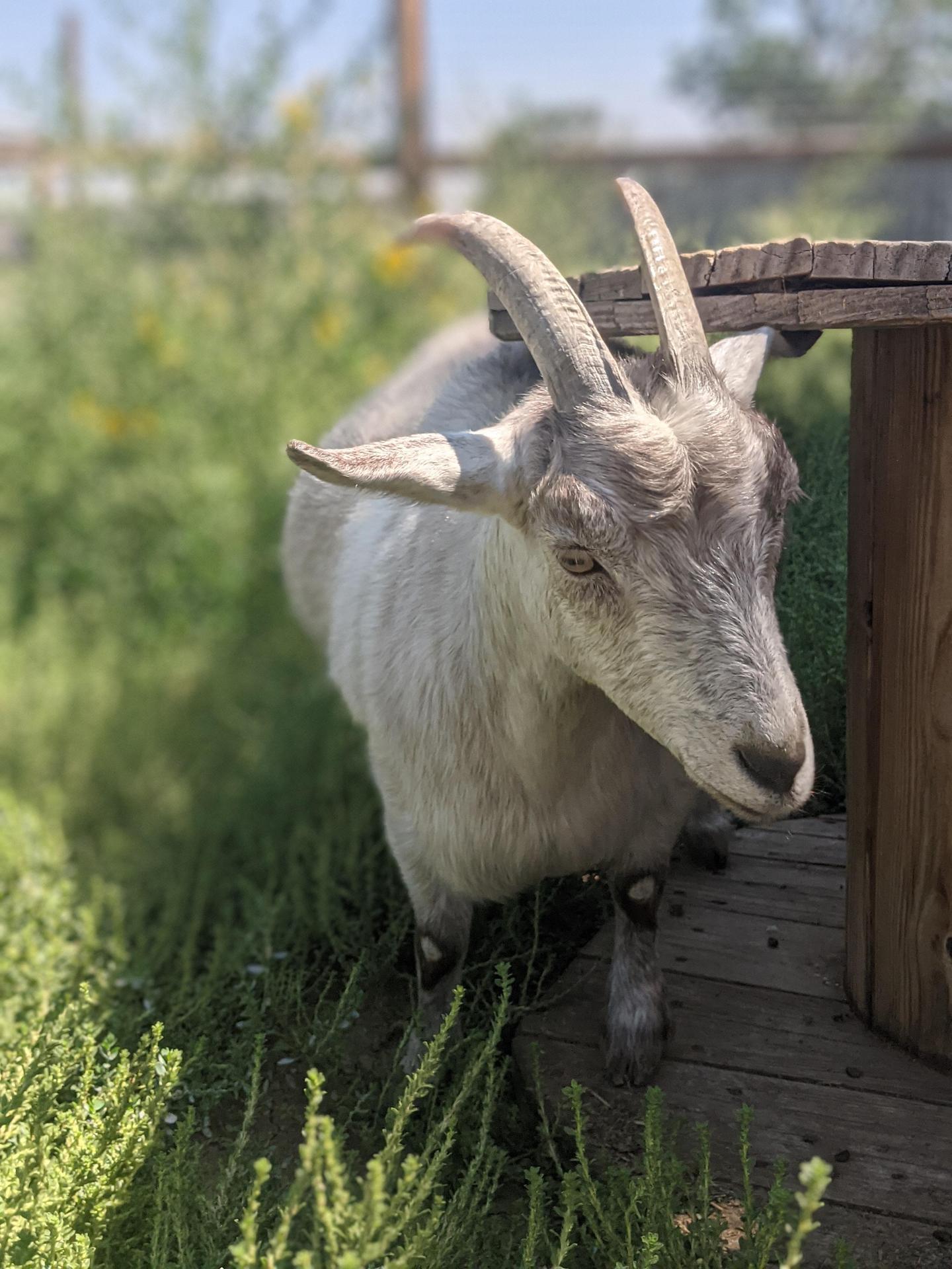 our goat, Luna