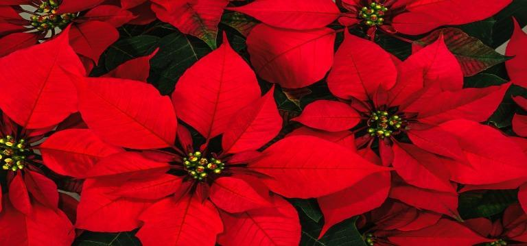 Christmas Wreath and Poinsettia Sale Featured Photo